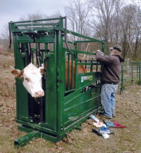 Photo of farmer in the field using safety chute to direct cow.